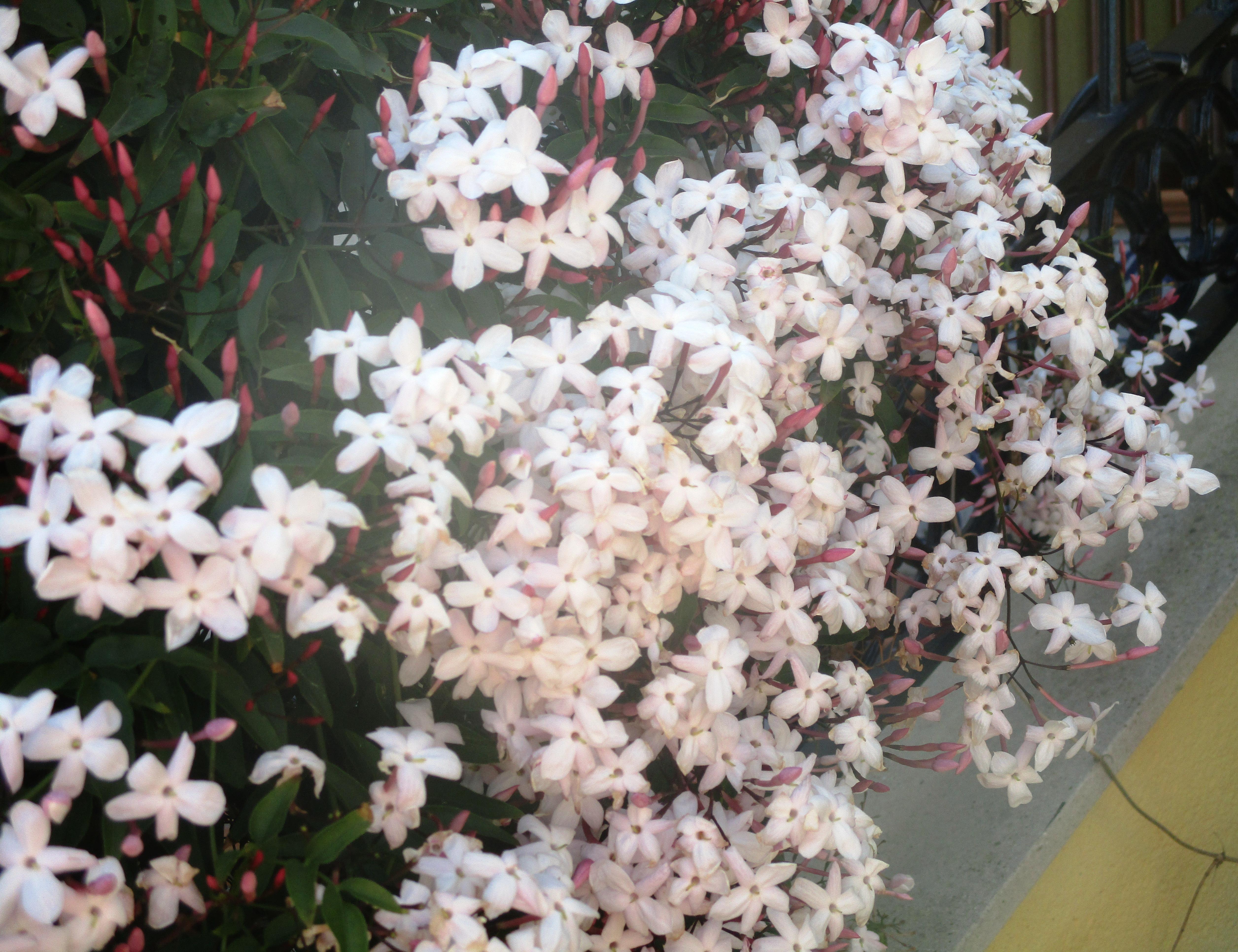 blossom 014